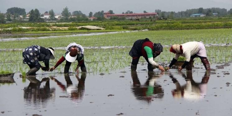 کاشت ۴۰ درصد برنج کشور در استان گیلان