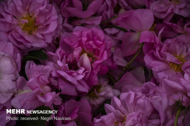 تولید ۳۰ تن گل محمدی در گیلان/ برداشت تا ۲۰ خرداد ادامه دارد