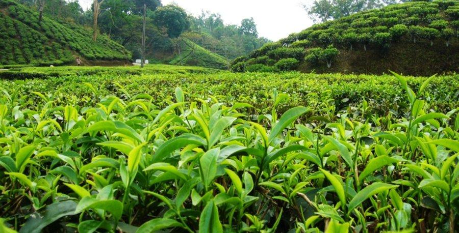 برگ سبز چای بیشتر از نرخ تضمینی خریداری می شود