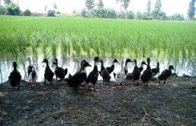 ضرورت افزایش بهرهگیری پرورش اردک با کشت توام برنج در گیلان