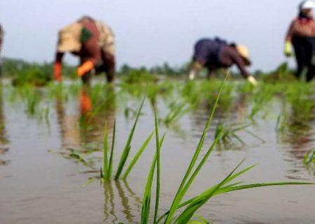 برنج گیلان با کیان قد میکشد