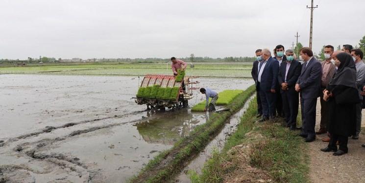 تولید ۳۰ درصد برنج کشور در گیلان