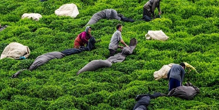 فارس من| قول مساعد وزارت جهاد به استخدام  ناظران چای
