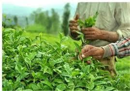 خرید بیش از ۲۰هزار تن برگ سبز چای از چایکاران استان های شمالی کشور