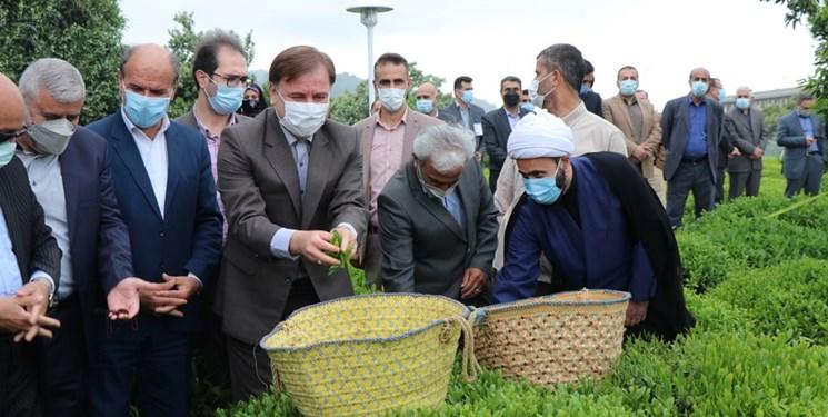 افزایش رقابتپذیری صنعت چای ایرانی با اقدامات حمایتی دولت
